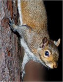 The squirrel is adept at clinging to the tree while posing for a photo.
