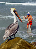 Pelicans become very expert food thieves.