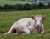This cow resting in the hills near Castlegregory watched every move I made.