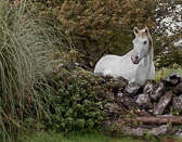 A friendly white horse that was encountered by  Dunguaire Castle in Kinverra.